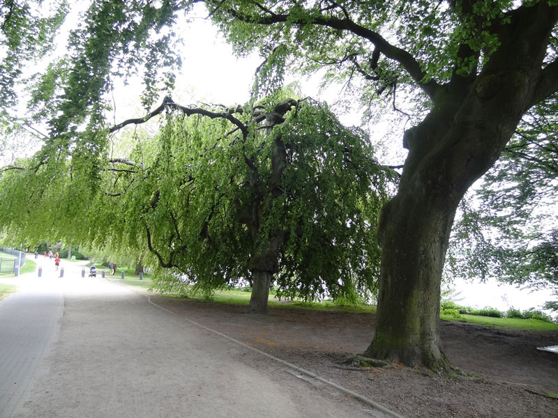 hambourg alster arbre 1